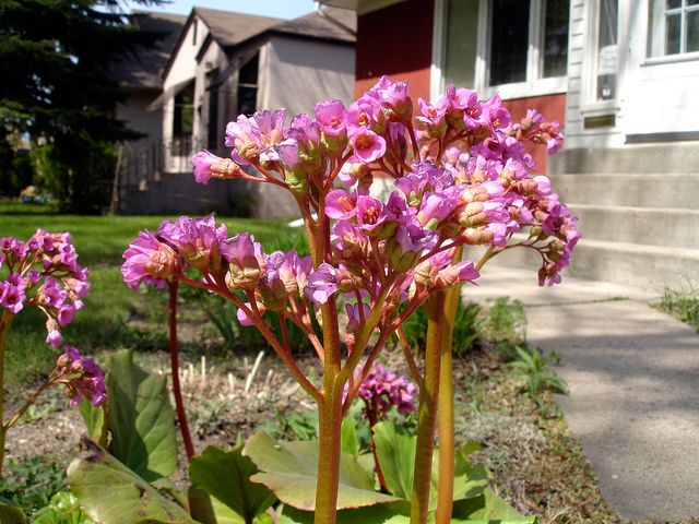 Bergenia plants are hardy