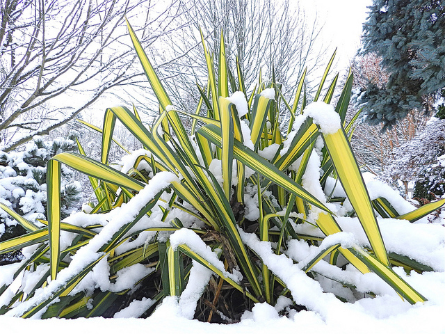 Golden sword yucca is hardy for a variety of temperatures