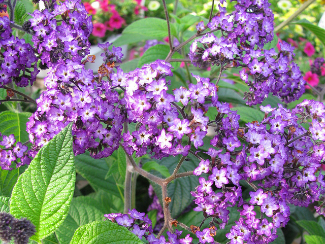 Heliotrope is deer-resistant