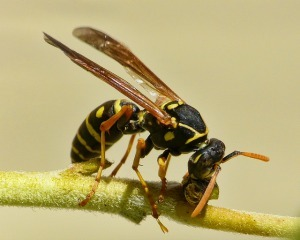 Encourage predatory insects, like wasps, to protect your plants from infestations